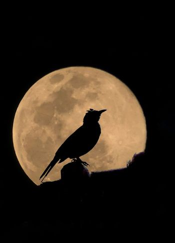 Full Moon Rhapsody In Blue One Animal Animal Wildlife Animals In The Wild Animal Themes Silhouette Moon Bird No People Night Full Length Outdoors Nature Perching Astronomy Close-up Sky Illuminated Somewhere Over The Rainbow Beauty In Nature Somewhere I Remember Places Around The World Nature Capture The Light