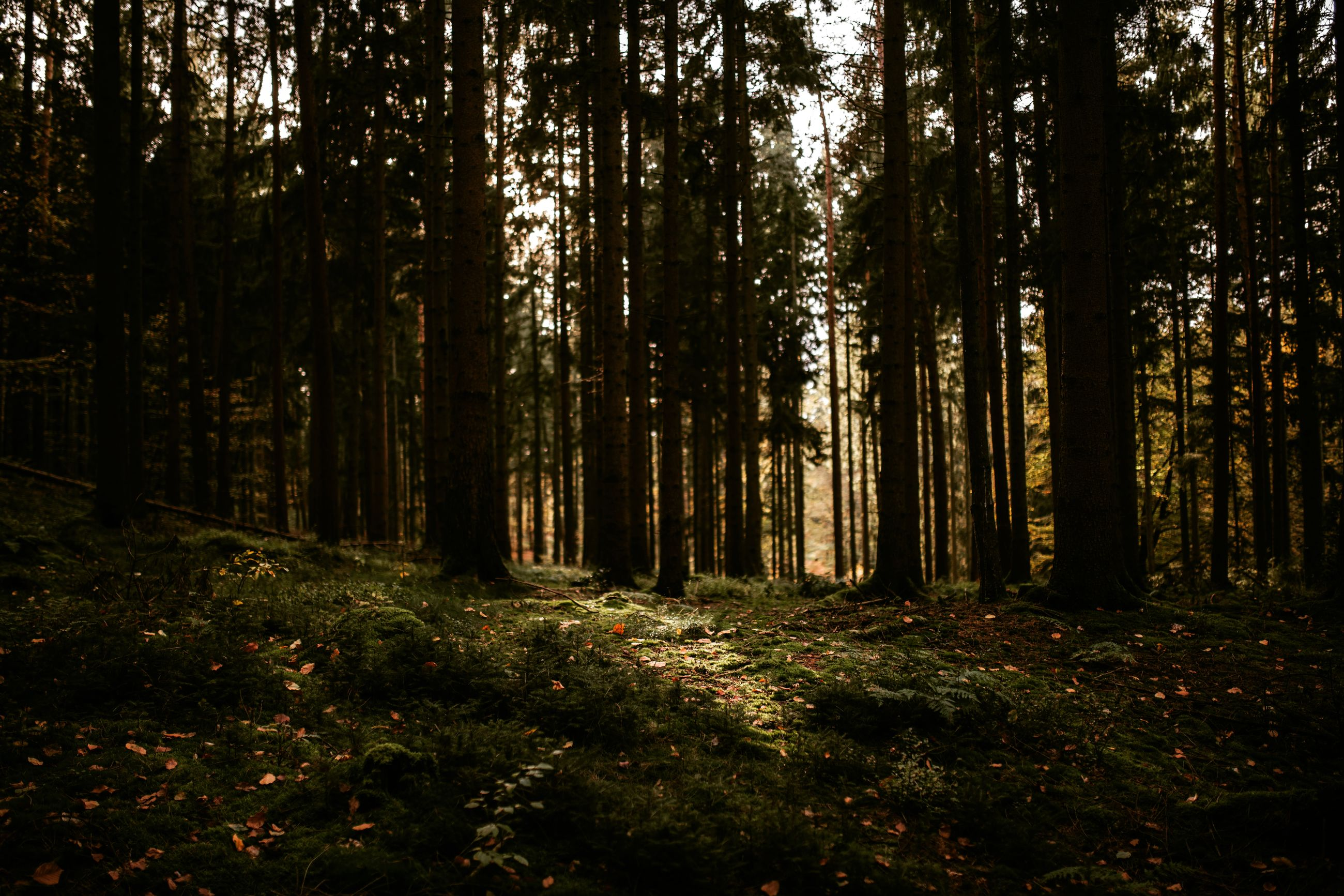 forest, tree, land, plant, woodland, tranquility, nature, growth, day, no people, tree trunk, trunk, beauty in nature, tranquil scene, non-urban scene, sunlight, outdoors, green color, scenics - nature, landscape