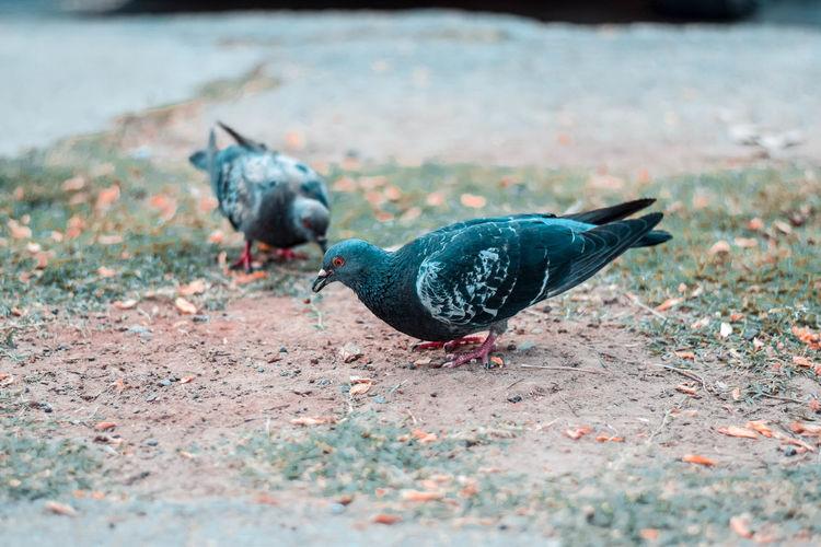Pigeon on a land