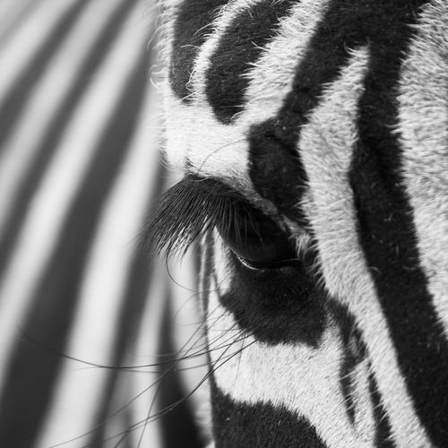 Close-up of zebra eye