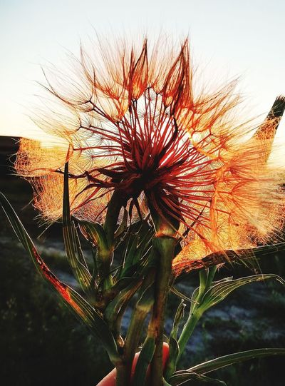 Close-up of wilted flowering plant against sky during sunset