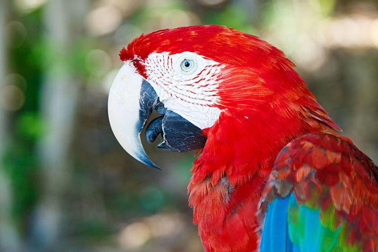 macaw III ,