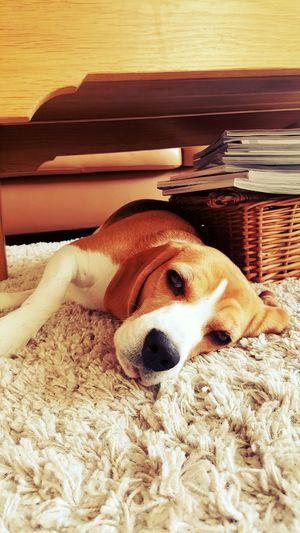 Jillz the beagle