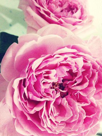 Flowers Pink Rose