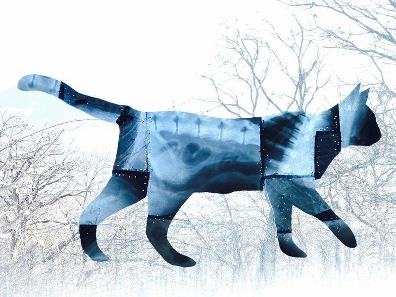 """""""lezgi cat of Gunay"""" Nature Cat X/rays"""