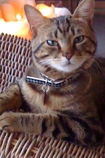 Anakin my cat😻😻😻 Domestic Cat