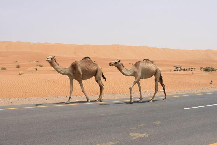 Camels walking on roadside at desert against clear sky