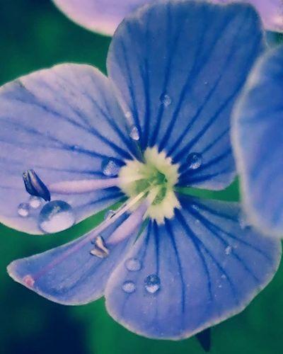 Macrophotography Asuszenfone Phone Photo Raindrops Flowers Beautifully  Nature
