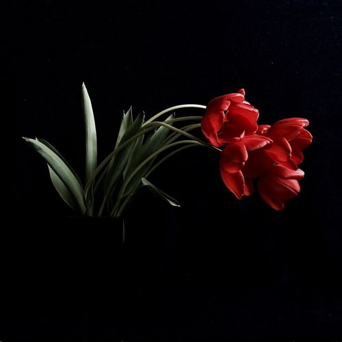 Flower Petal Beauty In Nature Flower Head Black Background Red Rose - Flower Growth Vase Plant Nature Fragility Freshness Studio Shot No People Blooming Leaf Close-up Tulips Tulpen Darkness And Light