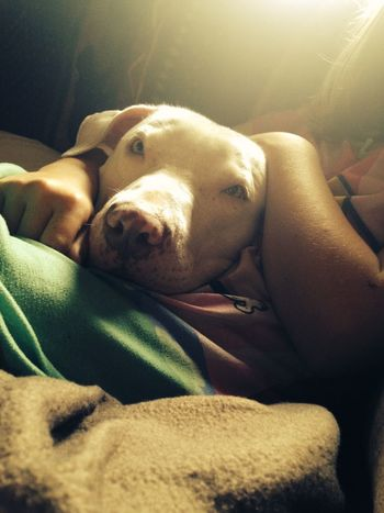 Dog Pets Lying Down Sunlight Loyalty Indoors  Close-up Animal Head  At Home A Girl And Her Dog Love Pitbull