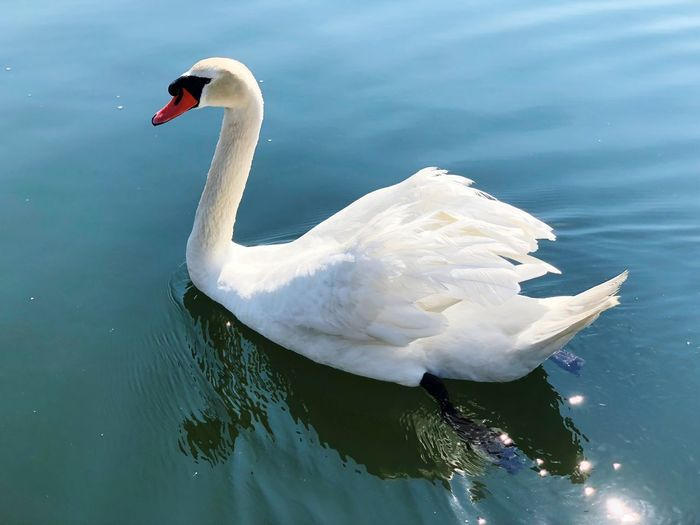 Swan Lake Swan Water One Animal White Color Water Bird Beauty In Nature