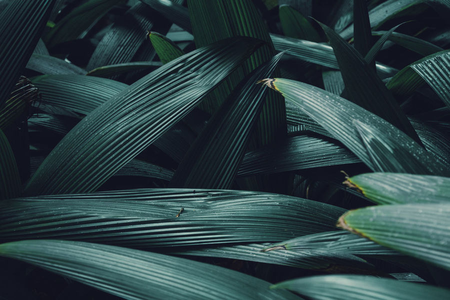 Martinique, Jardin de Balata Martinique Backgrounds Beauty In Nature Close-up Day Full Frame Green Color Growth Island Leaf Leaves Natural Pattern Nature No People Outdoors Palm Leaf Pattern Plant Plant Part Tropical Tropical Climate