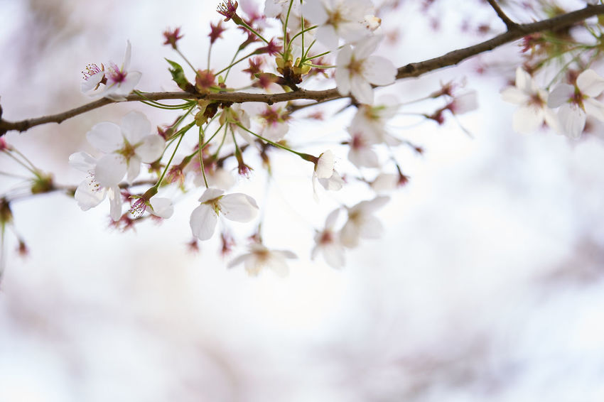 Beauty In Nature Blossom Branch Bunch Of Flowers Cherry Blossom Cherry Tree Close-up Day Flower Flower Head Flowering Plant Fragility Freshness Growth Low Angle View Nature No People Outdoors Plant Selective Focus Springtime Tree