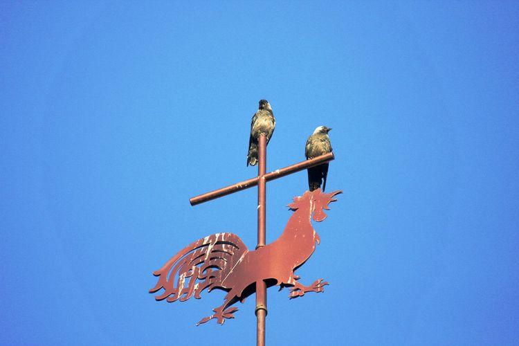 Low angle view of birds perching on wooden post against clear blue sky