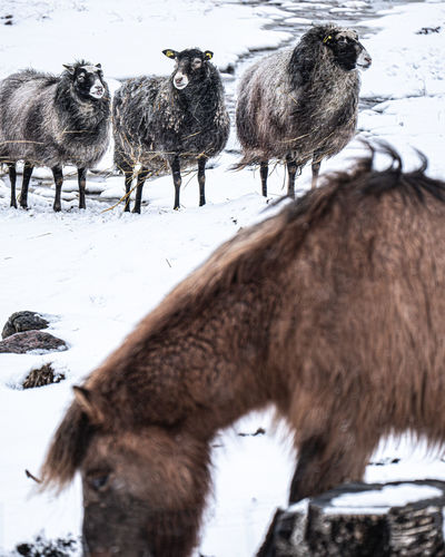 View of sheep on snow