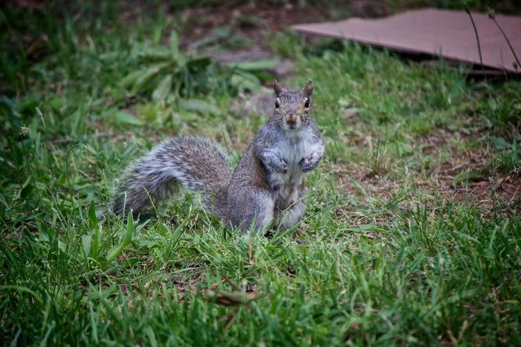 Squirrel Looking at the Camera Squirrel Animal Themes Animals In The Wild Day Grass Mammal Nature No People One Animal Outdoors
