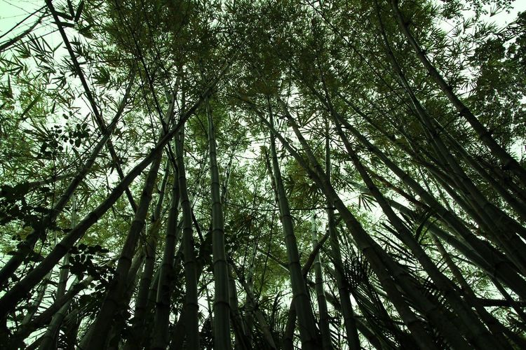 Beauty In Nature Can't See The Forest For The Trees Growth Outdoors Day Bamboo Grove Green Color No People