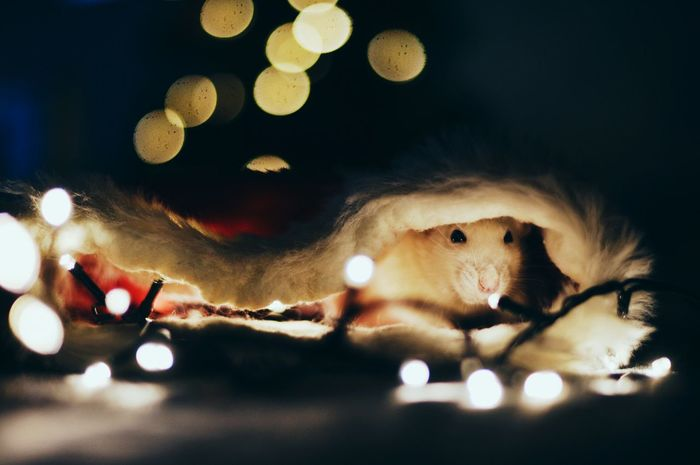 Christmas shoot with my pet rats, this is Suki. One Animal Close-up Christmastime Bokeh Rat Pet Rat Christmas Hat Dark Night Cozy Pet Love Light Indoors  Adorable Happy Xmas MerryChristmas