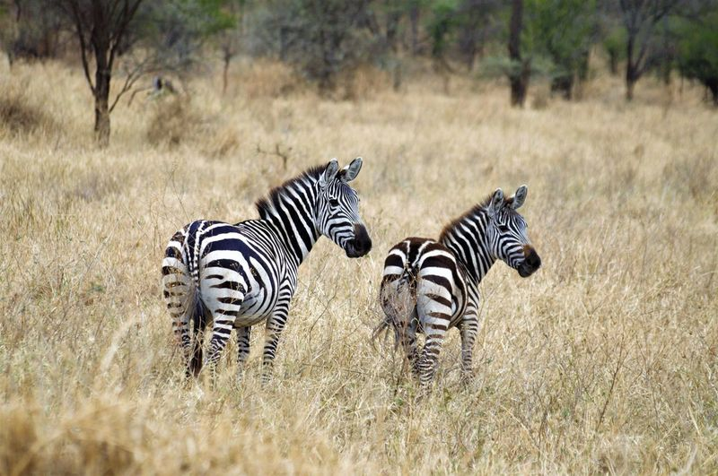 Animal Themes Animal Wildlife Animals In The Wild Beauty In Nature Day EyeEmNewHere Family Grass Mammal Nature No People Outdoors Safari Animals Striped Togetherness Young Animal Zebra
