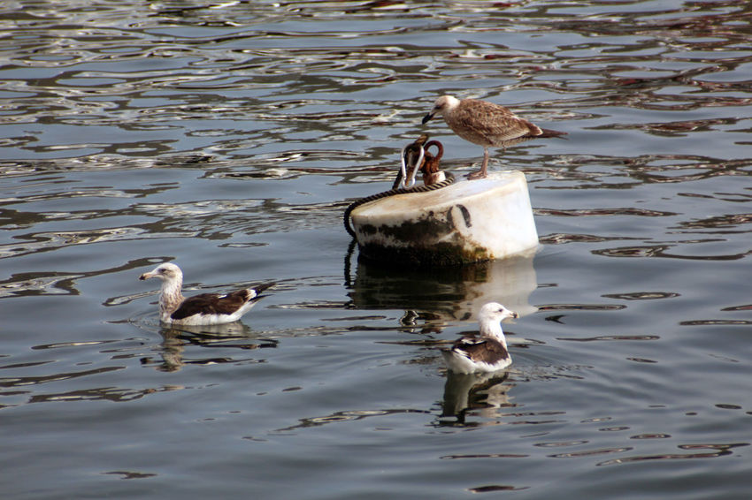 Animal Themes Animal Wildlife Animals In The Wild Bird Day Duck Duckling Lake Mammal Nature No People Outdoors Perching Swimming Two Animals Water Water Bird Waterfront Young Animal Young Bird