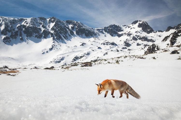 Fox walking on snowcapped mountain against sky