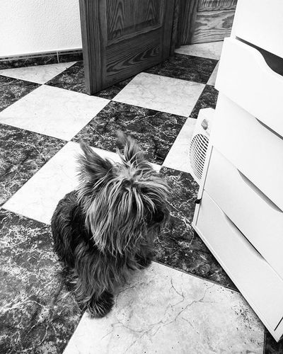 Hunger games. Right now. Blackandwhitephotography Yorkshireterrier Yorkiesofinstagram Yorkie Dogs Dogstsagram Dogsofinstagram