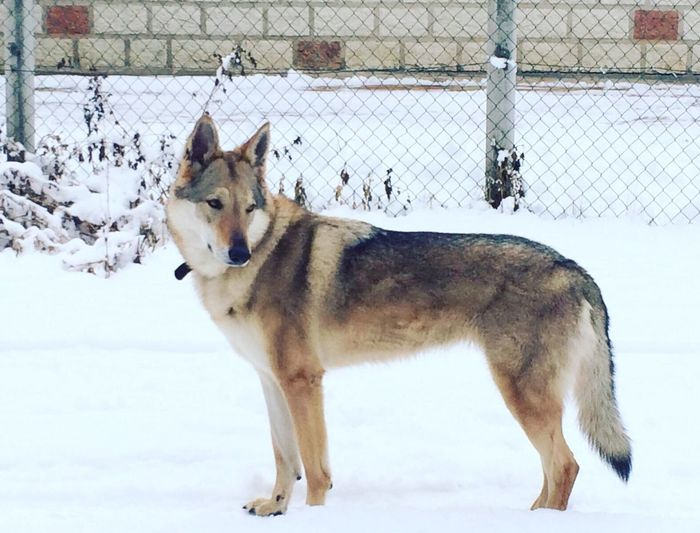 Wolf .. One Animal Animal Themes Snow Cold Temperature Winter Domestic Animals Mammal Pets Dog Zoology Looking Outdoors Day No People Snow Covered Herbivorous Animal