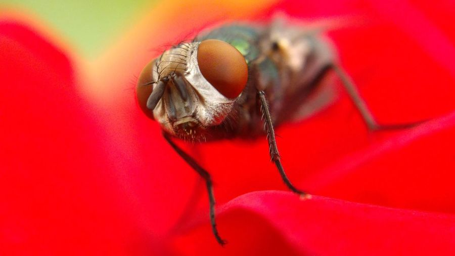 Close-Up Of Housefly On Red Rose