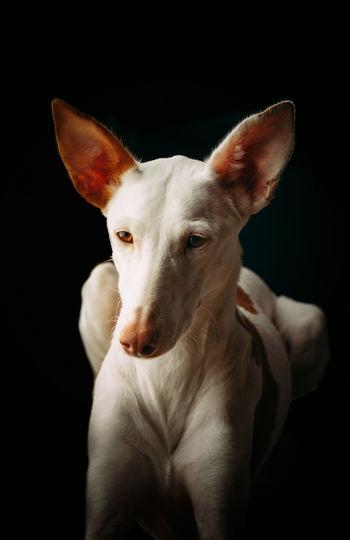 Portrait of dog against black background