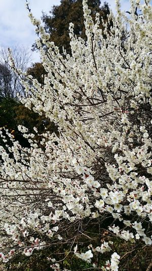 Spring Springcollection Plum Flower Collection EyeEm Nature Lover Nature_collection