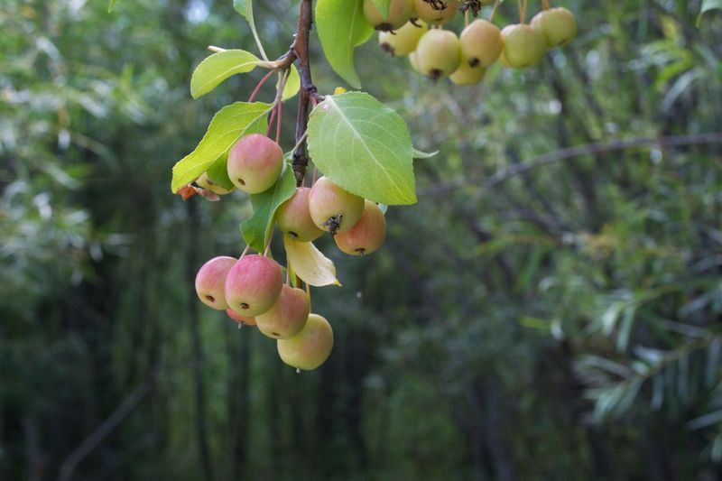 Fruit Growing Fruit Tree Fruit On The Tree Hanging Fruit Crab Apples Apples Growth Plant Fruit Close-up Leaf Plant Part Healthy Eating Focus On Foreground Tree Nature No People Freshness Food Beauty In Nature Green Color Branch Hanging Outdoors Springtime Decadence