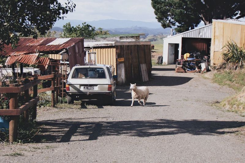 Newzealand One Animal Animal Themes Domestic Animals House Animal Animals Sheep Farm Farmanimals
