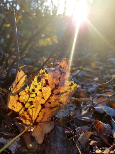 Autumn at its finest Autumn Naturelovers Tree Sun Lens Flare Sunbeam Close-up Leaf Vein Leaves Fallen Leaf