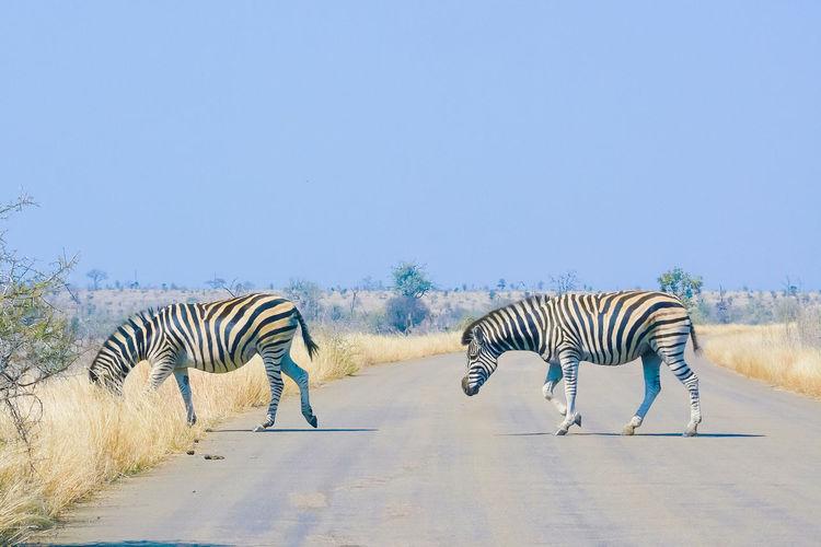 Zebras crossing road against clear blue sky