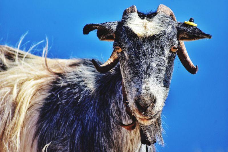 Close-up portrait of goat against clear blue sky