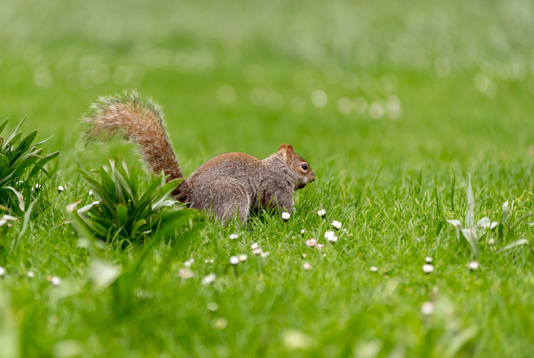 Squirrel on a field