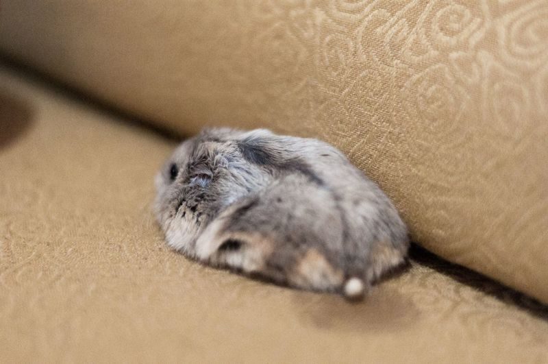 Hamster EyeEm