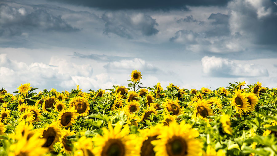 Scenic view of sunflower field against sky in tauber valley