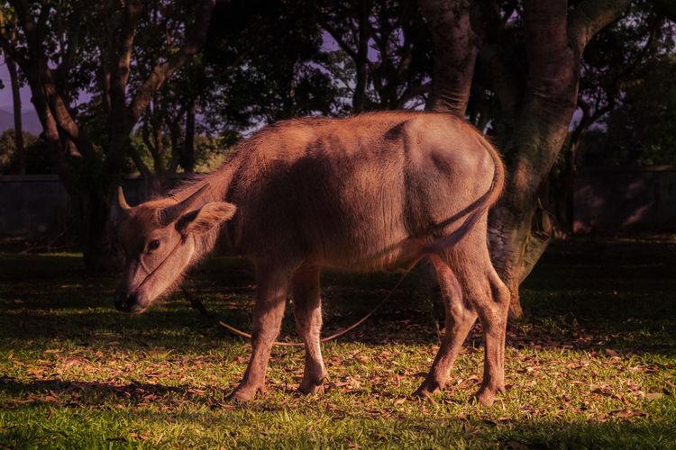 Asian  Asian Buffalo Buffalo Thailand Drake  Eye Green Leg Outdoors