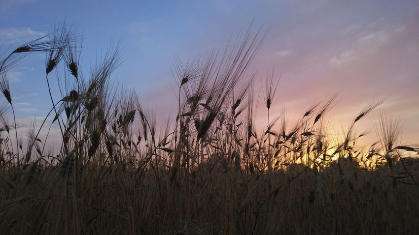 Silhouette Agriculture Beauty In Nature Cereal Plant Close-up Crop  Dusk Farm Field Grass Growth Nature No People Outdoors Plant Rural Scene Sky Summer Sunset Tranquil Scene Wheat
