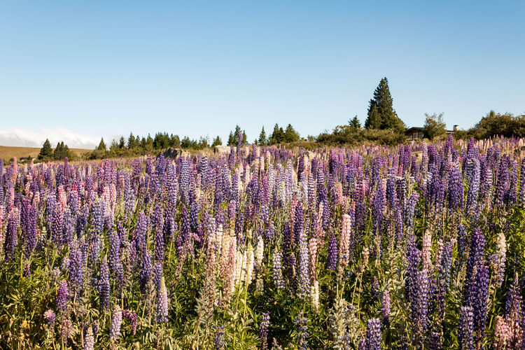 Lupins Lupin Wanaka New Zealand Scenery Plant Beauty In Nature Flower Flowering Plant Growth Nature Land Lavender Sky Field Purple No People Day Tranquility Tranquil Scene Lavender Colored Tree Scenics - Nature Copy Space Freshness Flowerbed