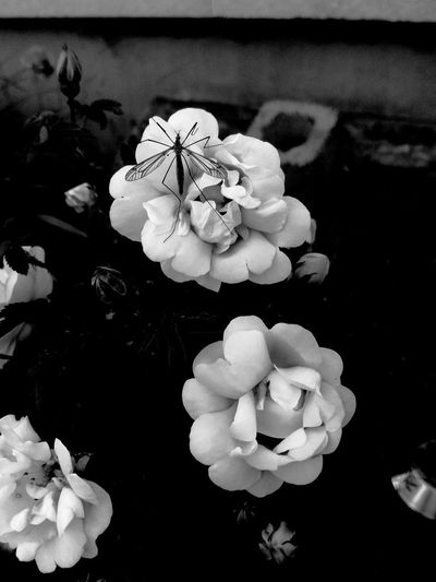 Close-up No People Flower Flowering Plant Fragility Vulnerability  Beauty In Nature Nature Growth Animal Themes Inflorescence Animal Wildlife Flower Head Garden Photography Outdoors Summer Blossom Blooming Petal Botany In Full Bloom Flowering Plant Black And White Bug Wings