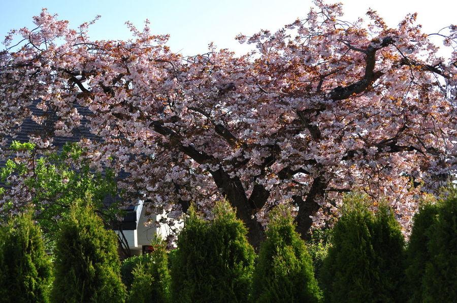 Sakura Blooming Blossom Cherry Blossom Cherry Tree Full Bloom Garden Gardening Equipment Low Angle View Ornamental Cherry Tree Prunus Serrulata Shirofugen Springtime Tree