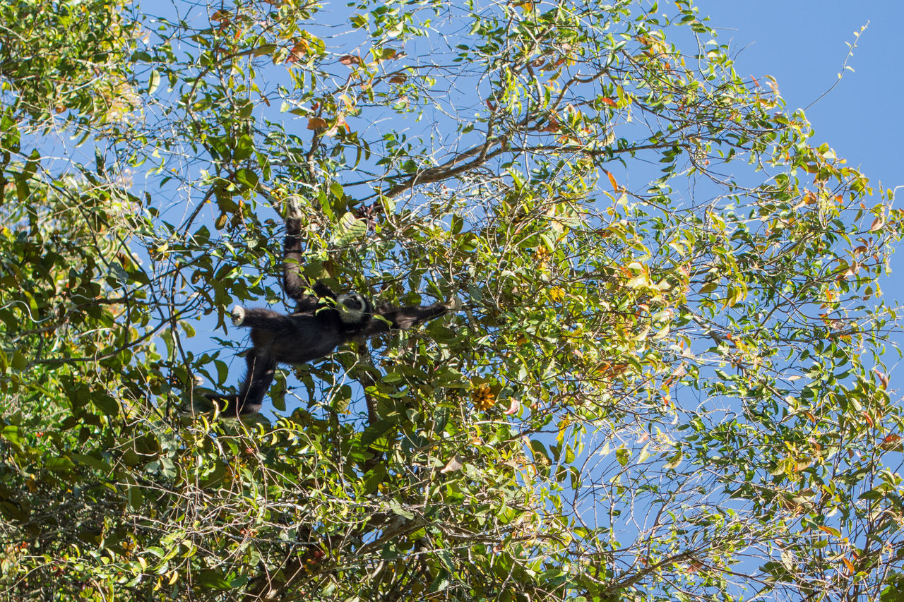 Low Angle View Of Monkey On Tree Against Blue Sky