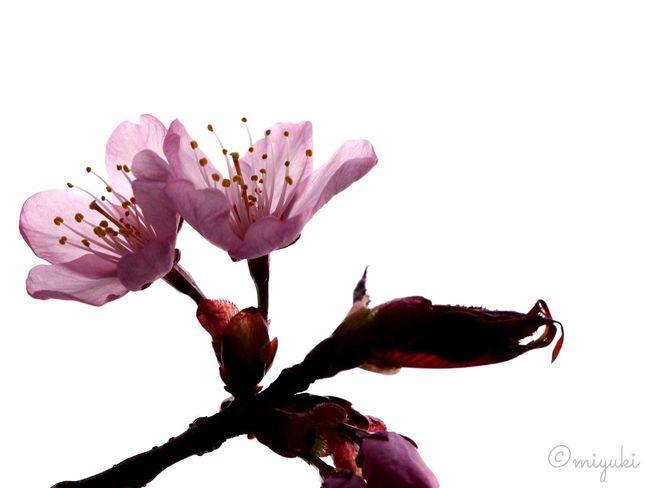 cherry blossoms. Cherry Blossoms EyeEm Best Shots Flowers EyeEm Flower Pink Sapporo