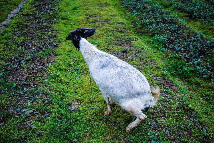 Animal Themes Animals In The Wild Day Domestic Animals Field Grass Green Color High Angle View Livestock Mammal Nature No People One Animal Outdoors Standing