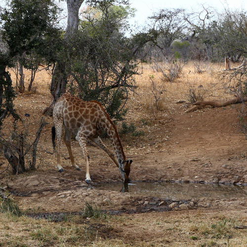 View of giraffe on field