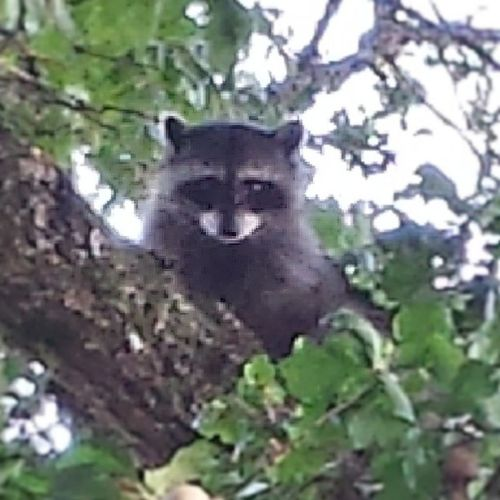 I thought that was an awfully large cat with a winter coat, makes sense now. Rangerrick Rickyracoon