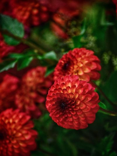 Red Plant Close-up Freshness Flower Beauty In Nature Petal No People Focus On Foreground Vibrant Color Outdoors High Angle View Nature Growth Vulnerability  Fragility Flowering Plant Flower Head Inflorescence