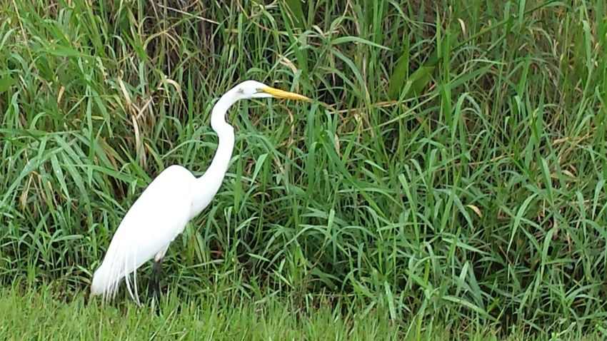 Heron Bird Photography Birds Of Florida White Bird White Color Green And White Bird Watching Looking For Food